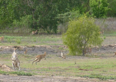 andrew-ucles-wild-tours-kangaroos-scatter